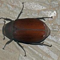 Squamulata canegrub