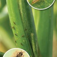 Tobacco thrips