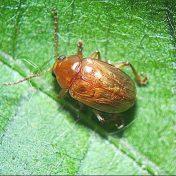 Swarming leaf beetles