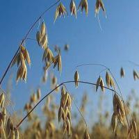 Volunteer (tame) oats