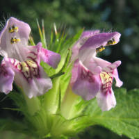 Common hempnettle