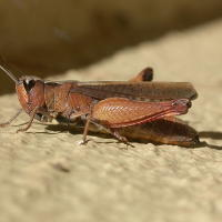 Wingless grasshopper