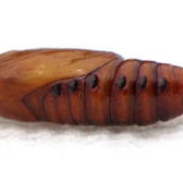Cadere armyworm