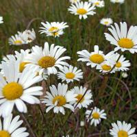 Common daisy, dog dais, moon daisy