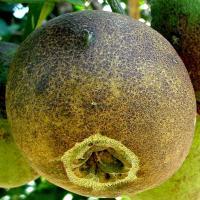 Brown citrus rust mite