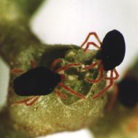 Redlegged earth mites