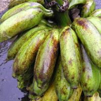 Banana rust thrips