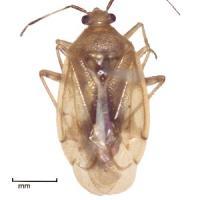 Brown smudge bug