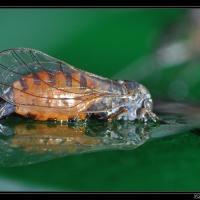 Psylloidea