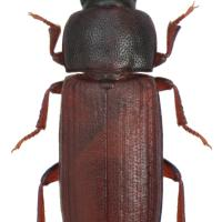 Rust red flour beetle