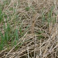 Volunteer cereals