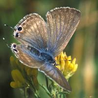 Pea blue butterfly
