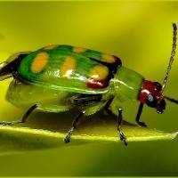 Vaquinha-verde-amarela