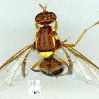 Darwin fruit fly