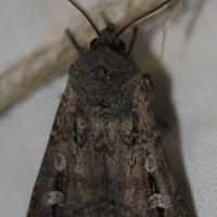 Common cutworm