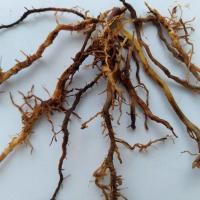 Nematoide-das-lesões-radiculares