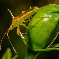 Fruitspotting bug