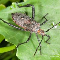 Passionvine bug
