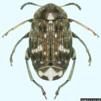 Pea weevil