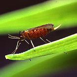 Гессенская муха