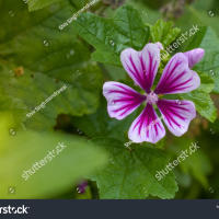 Round-leaved mallow