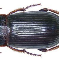 Ekin kambur böceği