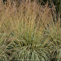 Purple moor-grass