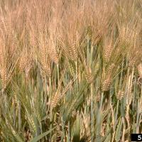 Volunteer barley