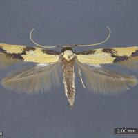 Sugarcane bud moth