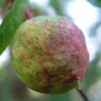 Şeftali yaprak kıvırcıklığı