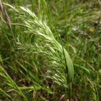 Yellow oatgrass