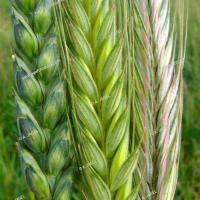 Volunteer wheat
