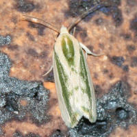 Rough bollworm