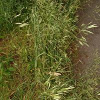 Meadow bromegrass