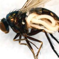 Колосовая муха