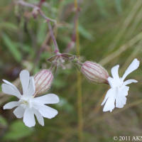 Night flowering catchfly
