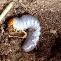 Il cutworm nero
