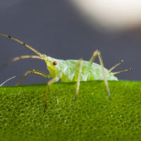 Blue green aphid
