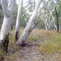 Blakely's red gum