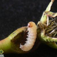 Грушевый плодовый пилильщик